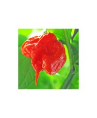 Carolina Reaper Chili Zaden