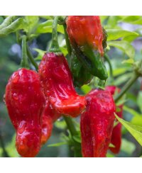 Naga Morich Red Chili Zaden