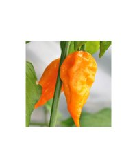 Naga Morich Yellow Chili Zaden
